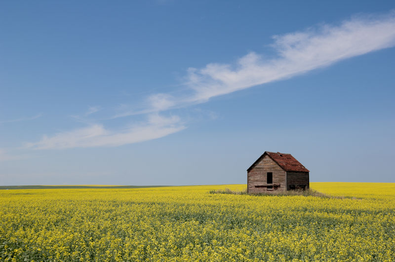 Summer Canola